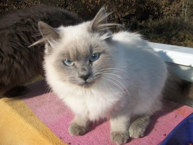 Ragdoll/Himalayan kittens for sale in Prince Albert