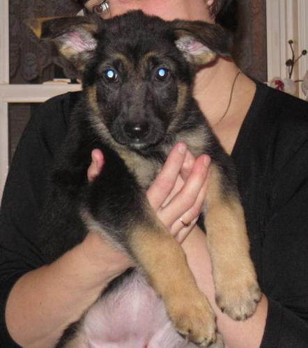 *REDUCED*LAST ONE! 9 wk old CKC Reg'd Female German Shepherd Pup