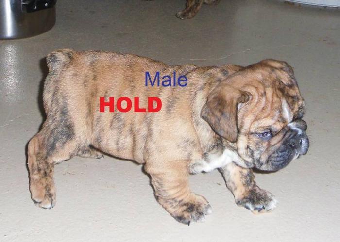Reg. English/British Style Bulldog pups: