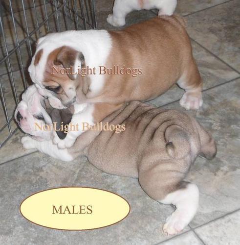 Registered English/British Bulldog pups