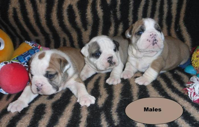 Registered English/British Style Bulldog pups
