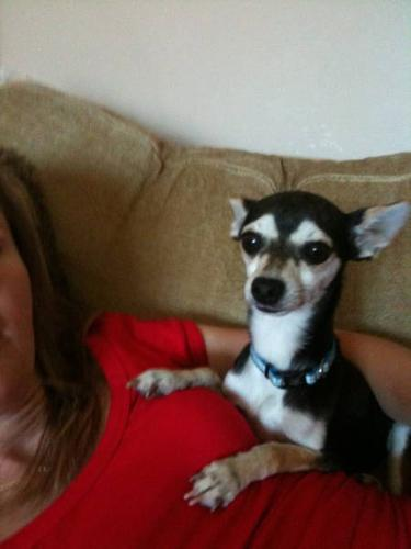 RESCUED CHIHUAHUA X LOOKING FOR A LOVING HOME