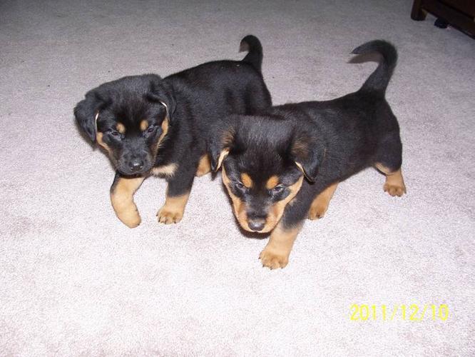 Rottweiler German Shepherd Cross Puppies For Sale In Prince George