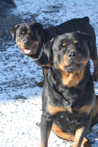 Rottweiler Puppies For Sale !!!!