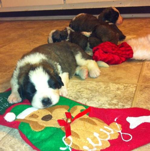 Saint Bernard Puppy's Ready to Go Just in time 4 christmas