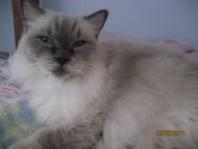 Senior Female Cat - Himalayan: