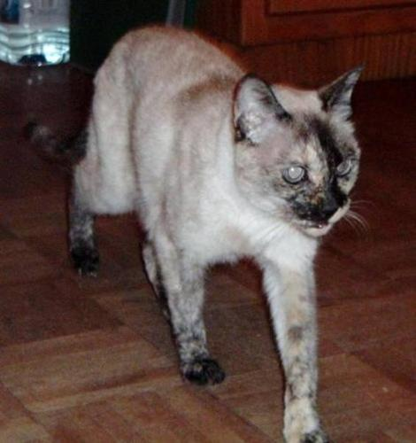 Senior Female Cat - Siamese: