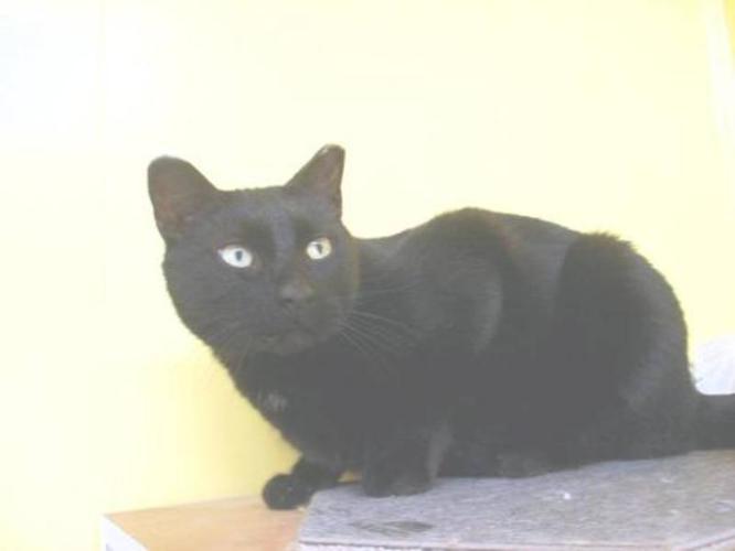 Senior Male Cat - Domestic Short Hair-black: