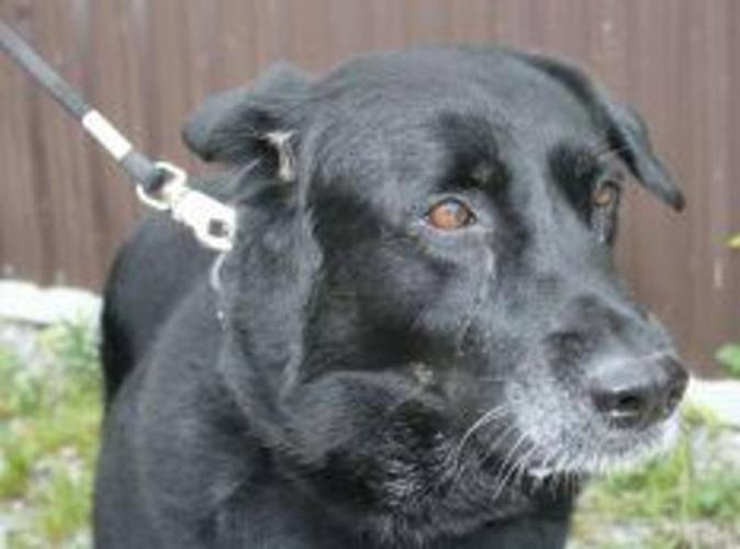 Senior Male Dog - Black Labrador Retriever: