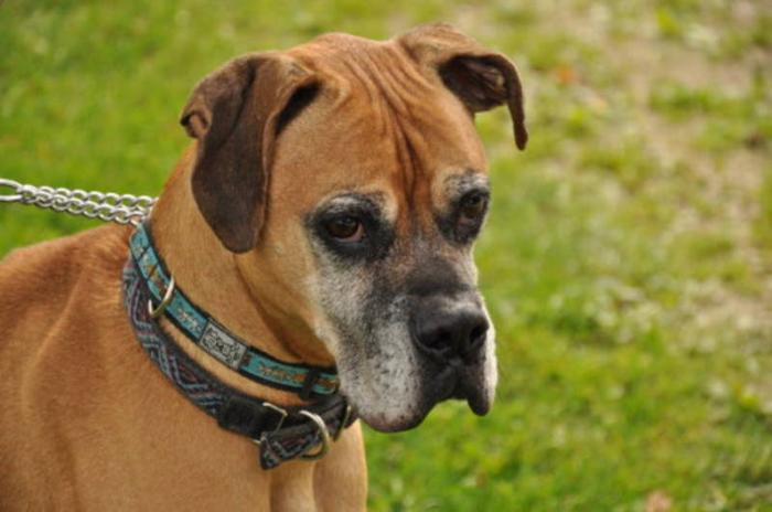 Senior Male Dog - Boxer: