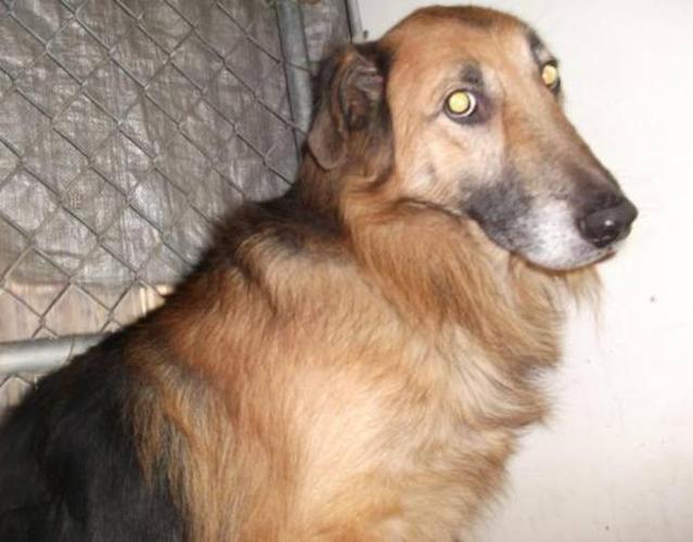 Senior Male Dog - Collie Shepherd: