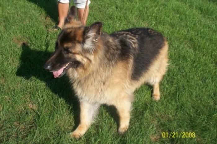 Senior Male Dog - German Shepherd Dog: