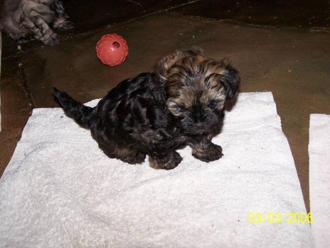 SHIH-POO for sale in Barrie, Ontario - Your pet for sale