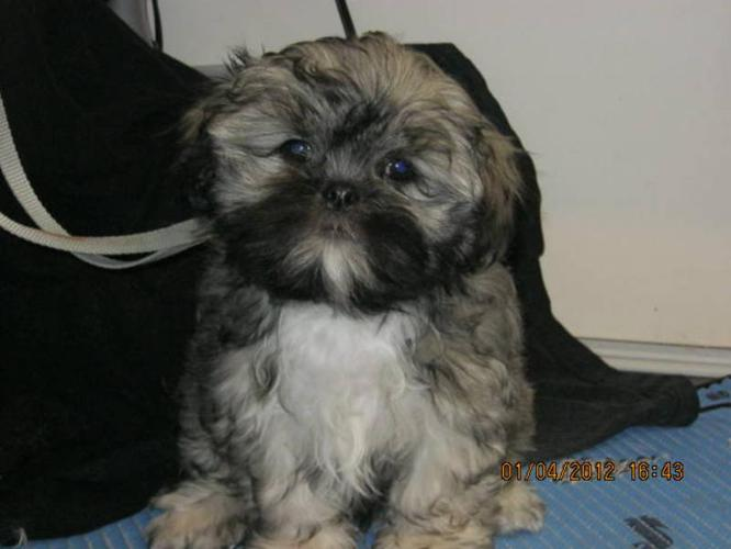 Shih Tzu Lhasa Apso Female For Sale In Edenwold Saskatchewan