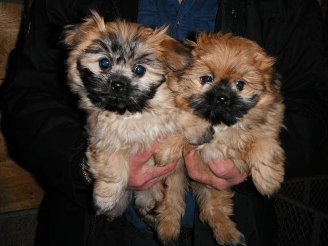 Shih Tzu/ Pom cross puppies for sale for sale in Hafford