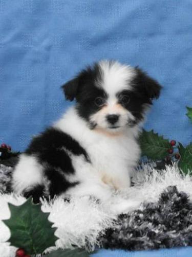 Shih Tzu x Pomeranian Puppies: Ready For Christmas!
