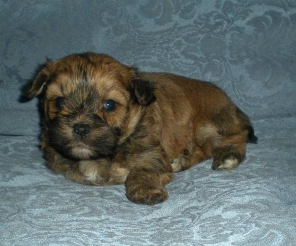 Shih Tzu X Toy Poodle, (Shihpoo) for sale in Legal, Alberta