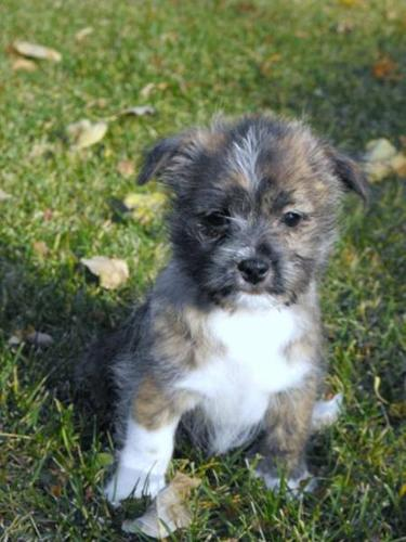Shih Tzu X Westie Puppies: Cutest Christmas Present!