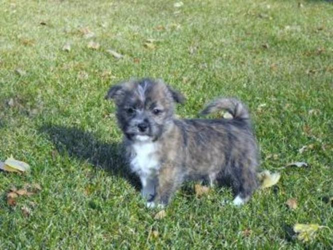 Shih Tzu X Westie Puppies