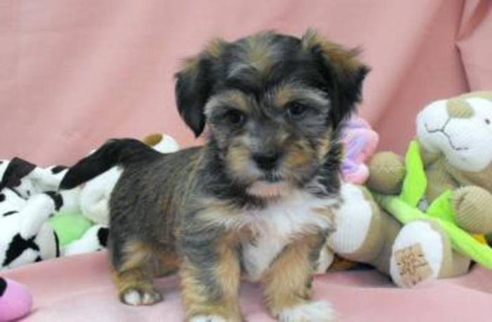 SHORKIE PUPPIES -- Shih Tzu X Yorkshire Terrier for sale in