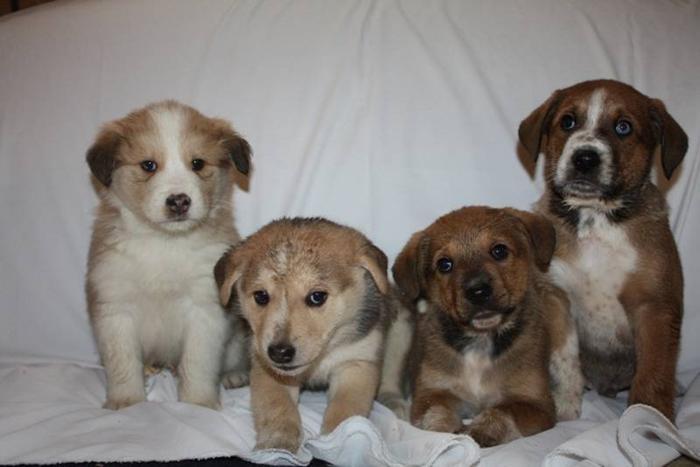 Siberian husky/ canadian eskimo x lab dog, 4 pups ,truro friday.