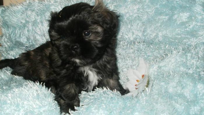 Small Brindle Shih Tzu Puppy