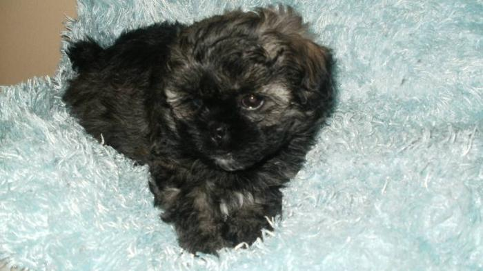 Small Shih Tzu Puppy