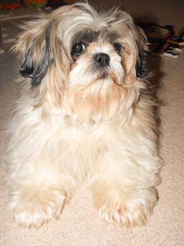 SOLD: Fully Trained & Spayed 6yr old Shih Tzu
