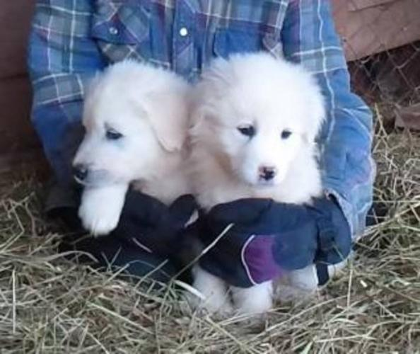 SOLD - Great White Pyrenees Puppies