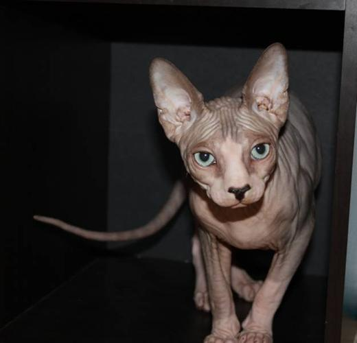 SPHYNX *$650* Price only for Boxing Week!!