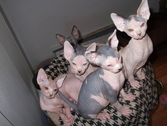 Cat Sphynx For Sale Ontario