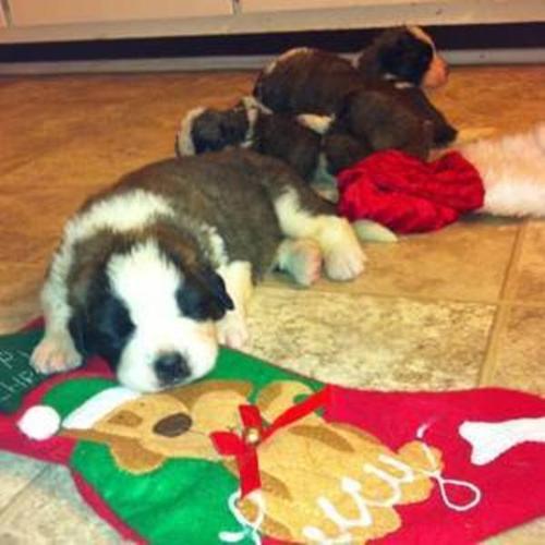 St Bernard Pups make great stocking stuffers. 3 Boys Left