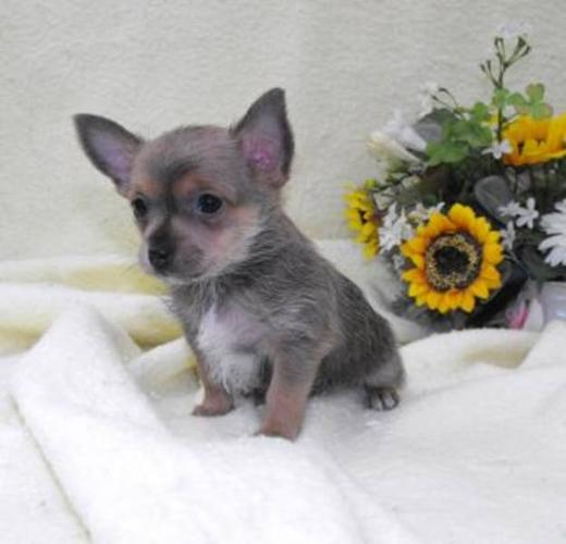 Super Small Puppies, Beyond Cute, Yorkie x Chihuahua