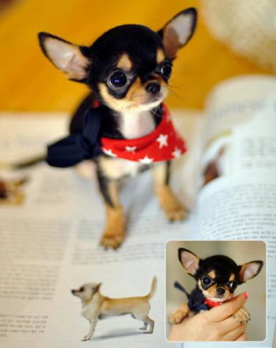 *~*TEACUP SIZE*~* 1 OF THE SMALLEST CHIHUAHUA PUPS IN THE WORLD!