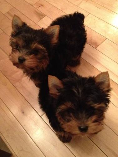 teddy bear face male yorkshire terrier puppy yorkie