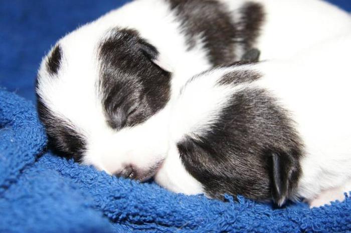Teeny Tiny Beautiful Female Foxillon Puppies For Sale