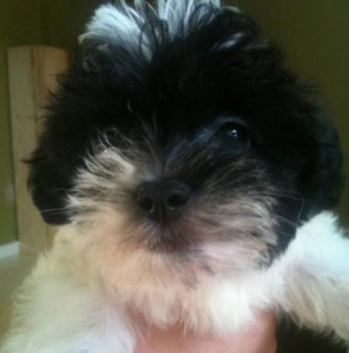 Terri-Poo Puppies