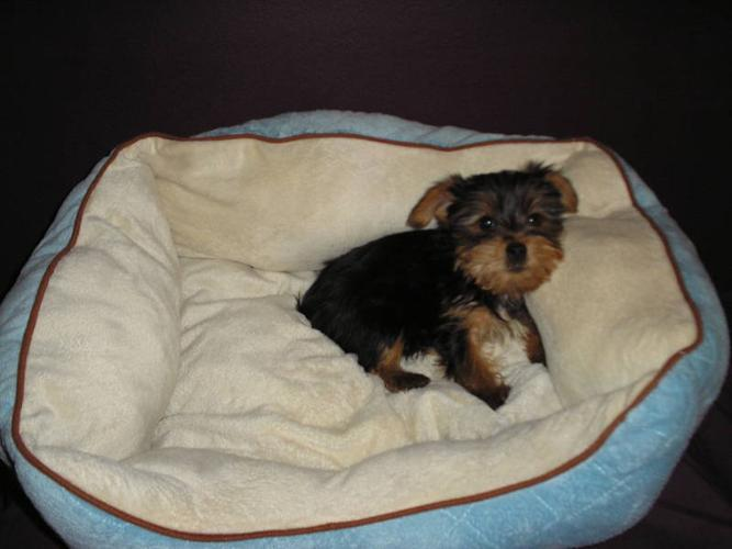 TINY ADORABLE FEMALE YORKSHIRE TERRIER PUPPY FOR SALE!!!!!!!!!!