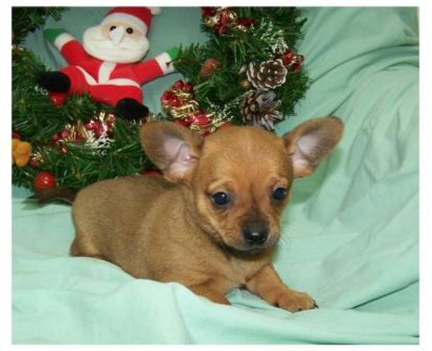 Tiny Chiweenie Puppy