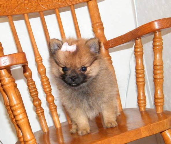 tiny pomeranian female puppy