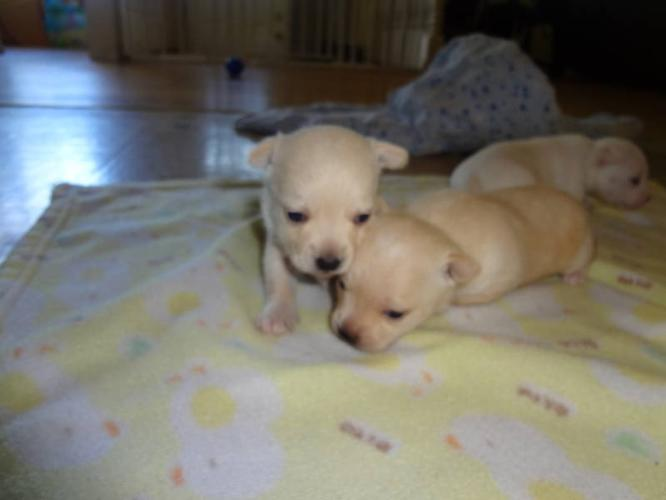 Tiny Tea Cup Chihuahua/Westie Puppies PURE WHITE FEMALE for