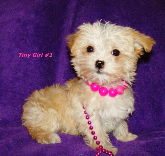 TINY TOY YORKIEPOO PUPS AVAILABLE 2-3 POUNDS - YORKIE / POODLE