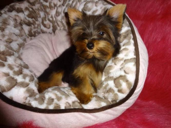 Tiny toy yorkshire terrier