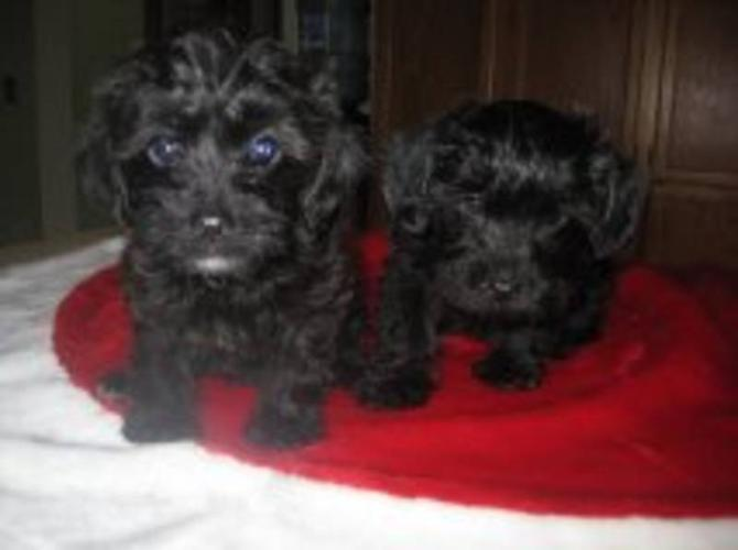Tiny Yorkie Poo For Sale In East York Ontario Your Pet For Sale