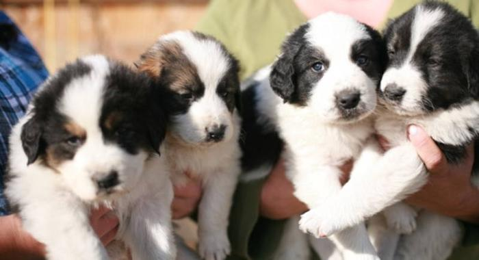 Tornjak Puppies in Canada
