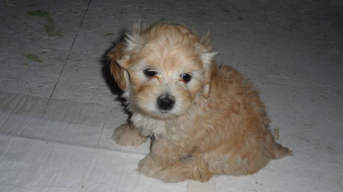 Toy Maltipoo puppies for sale in Mayerthorpe, Alberta - Your