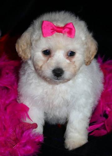 Toy Poodle Cross Bichon Pups For Sale In Toronto Ontario