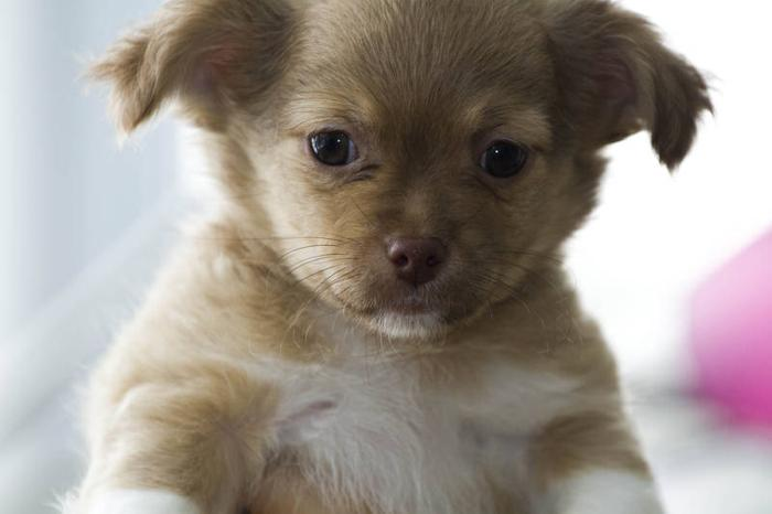 Toy Size Dogs : Toy sized puppies warning extremely cute for sale in