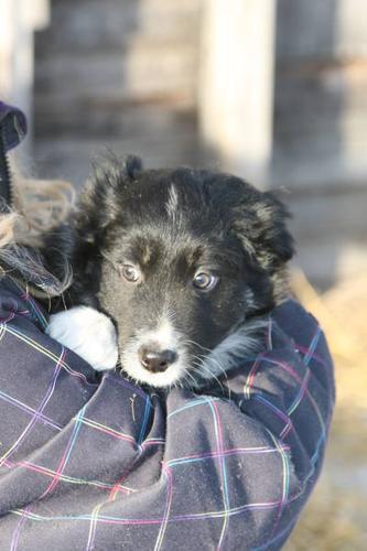 Traditonal and Tri Coloured Border Collie Pups