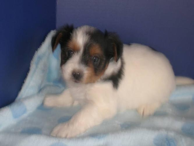 TRI COLOURED YORKSHIRE TERRIER PUPS